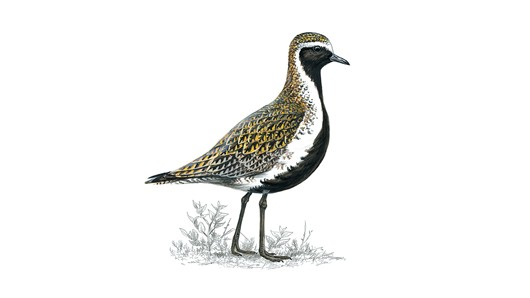 The golden plover is here!